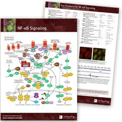 NF-kB Signaling pathway handout