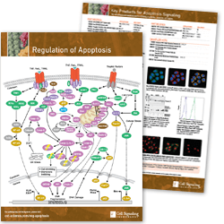 Regulation of Apoptosis Hand-out