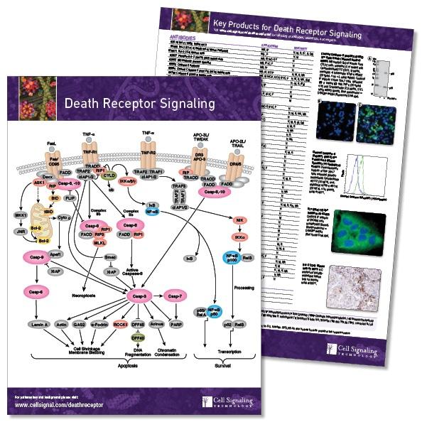 Death_Receptor_PW_Handout