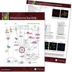 Inflammasome pathway handout