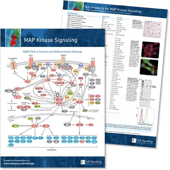 MAPK pathway handout