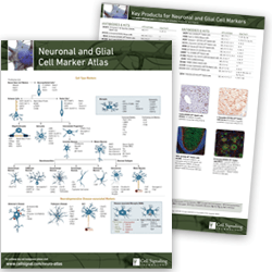 Neuronal Markers pathway handout