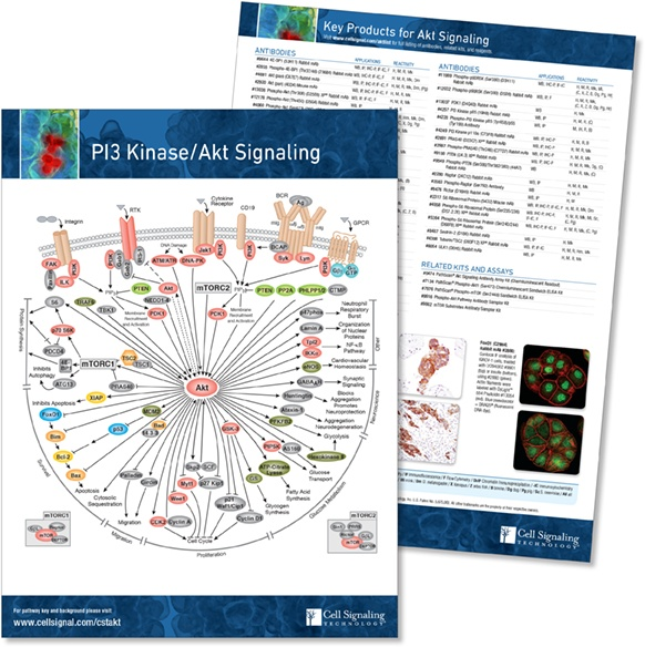 PI3 Akt pathway handout