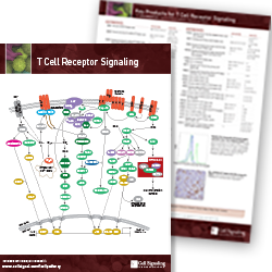 T Cell Receptor Signaling pathway handout