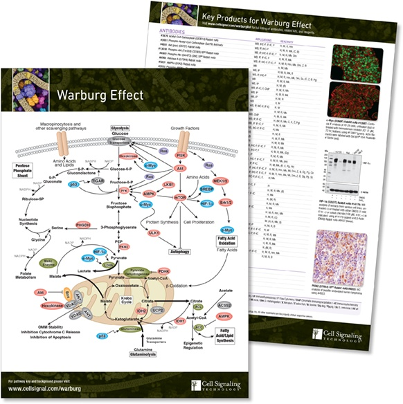 Warburg Effect pathway handout