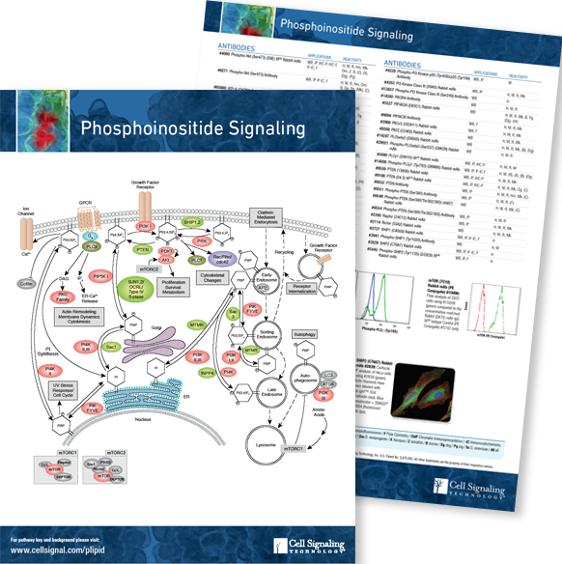 Phosphoinositide pathway handout